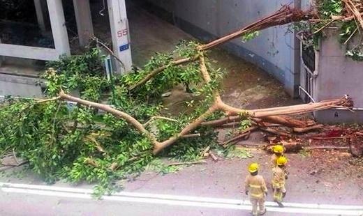 半山羅便臣道有15米大樹倒塌,壓死1名路過孕婦,現場仍未解封(港台圖片)